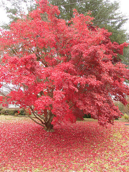 Acer_palmatum_(Japanese_Maple),_Toccoa,_Georgia