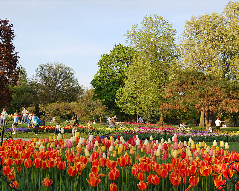 Tulips_in_Washington_Park