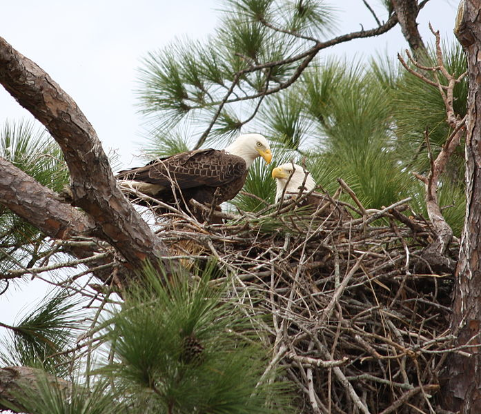 697px-Bald_eagle_pair_in_nest_(cropped)