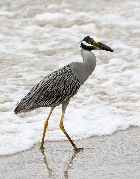470px-Nycticorax_violaceus_(at_beach)