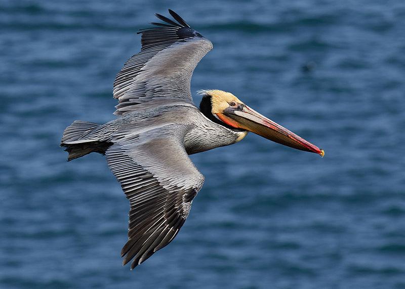 Brown_pelican_in_flight_(Bodega_Bay)