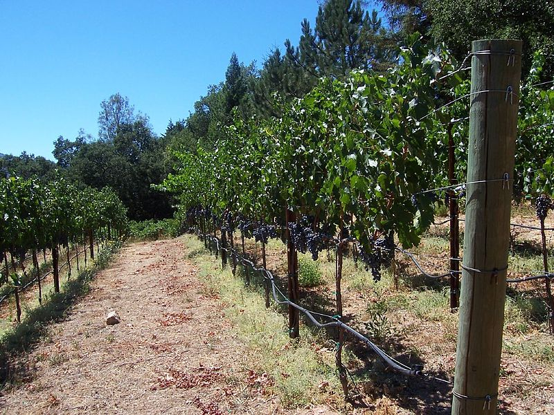 Cabernet_growing_in_Calistoga