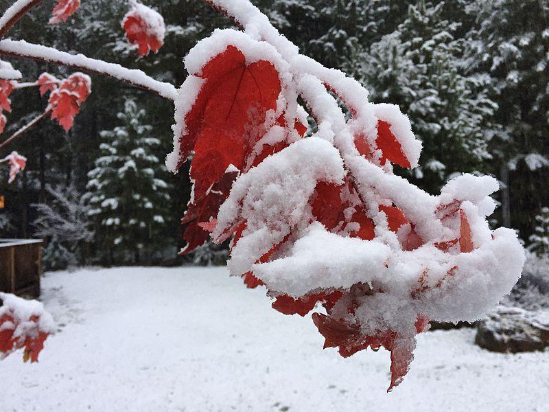 2015-11-02_06_39_12_Snow_on_a_Freeman's_Maple_still_holding_its_autumn_foliage_along_Stewart_Court_in_Truckee,_California